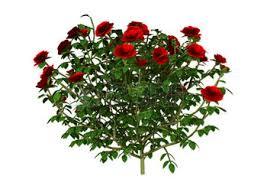 guarda la rosa non le spine