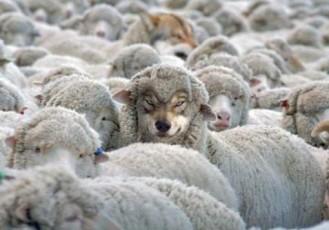 lupo travestito pecora
